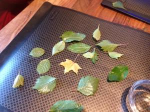 hojas2